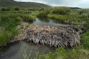 A beaver dam in Wyoming. Photo credit: Wildlife Conservation Society.