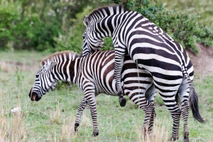 mating-zebras